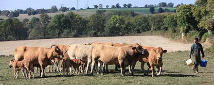 Photographie - élevage bovin